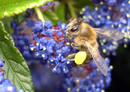 One of our bees on that blue-flowered shrub in our garden