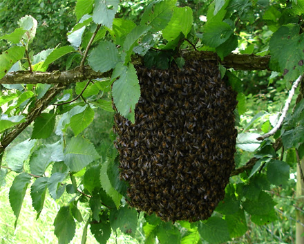 July swarm near Beaminster